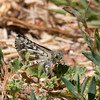 Common Checkered-Skipper- VenCo_CA__6841