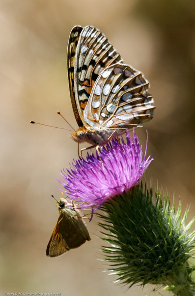 Fritillary_Eagle Lake_Lassen County_CA-9527