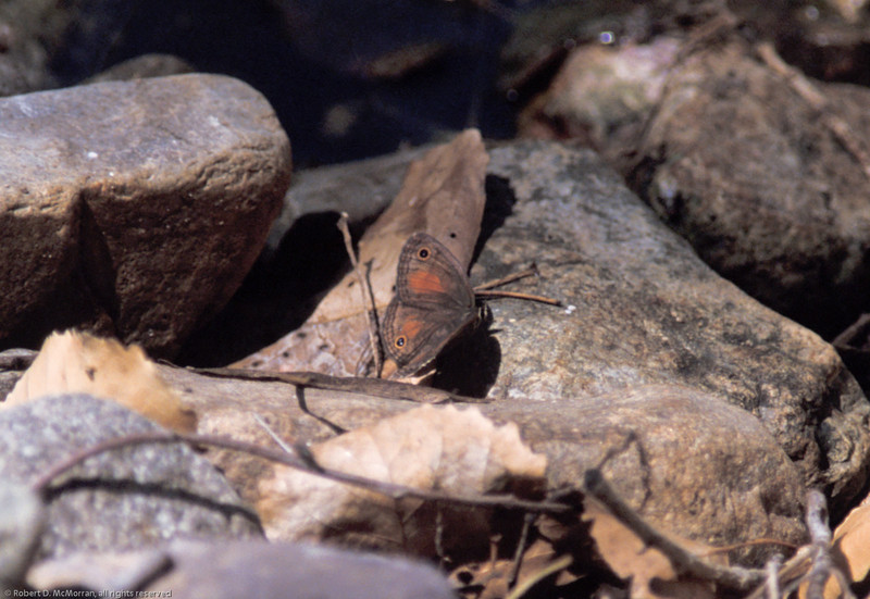 Red Satyr- Madera Canyon-AZ- 2004_1