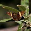 Golden Banded-Skipper_Chiricahua Mtns_AZ-2300-1