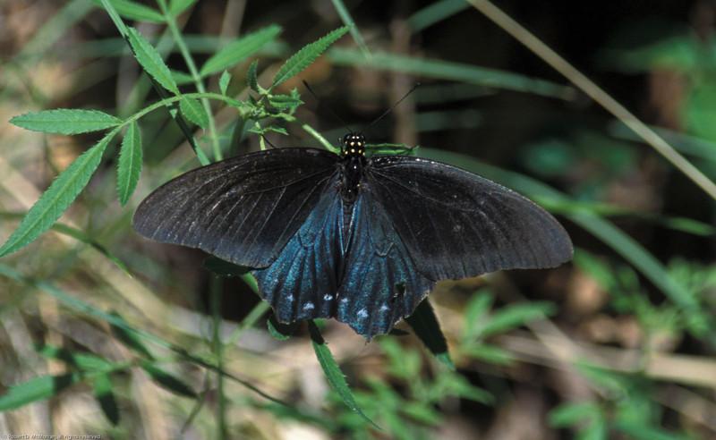 Pipevine Swallowtail_02- Madera Canyon-AZ- 7-2004
