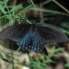 Pipevine Swallowtail_02- Madera Canyon-AZ- 7-2004