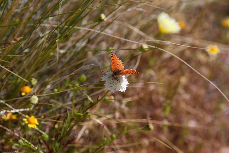 Sagebrush Checkerspot_Cuddeback Dry Lake_San Bernardino Co_CA-776-3