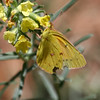 Orange Sulphur_Chiricahua NM_AZ-2214-1
