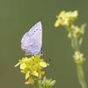 Silvery Blue- VenCo_CA_6133