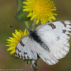 Checkered White_Ormond Beach_ventura Co_CA 008