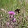 Palamedes Swallowtail- RioGV_TX- 570-2