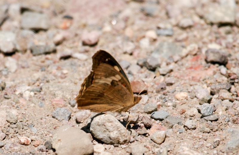 Common Buckeye_Chiricahua Mtns_AZ_2318