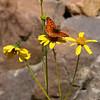 Sagebrush Checkerspot_Death Valley_CA-343-2