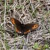 Common Alpine_Swan Lk_Tupper_BC_Canada-002397