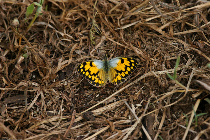 Butterfly_Mpala_Kenya-9669-2