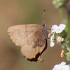 Brown Elfin_SisarCyn_Ventura Co_CA-0458