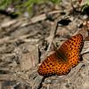 Fritillary_Beatton Provincial Park_BC_Canada-392