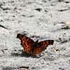 Satyr Comma_Exstew River_BC_Canada-1096