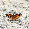 Satyr Comma_Exstew River_BC_Canada-1102