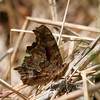 Eastern Comma- NCTC_WV_6189