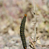 Caterpillar_Death Valley_CA-1-2
