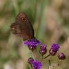 Butterfly_Mpala_Kenya-5702