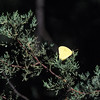 Cloudless Sulphur-F- Madera Canyon-SE Arizona- 8-31-2004_3