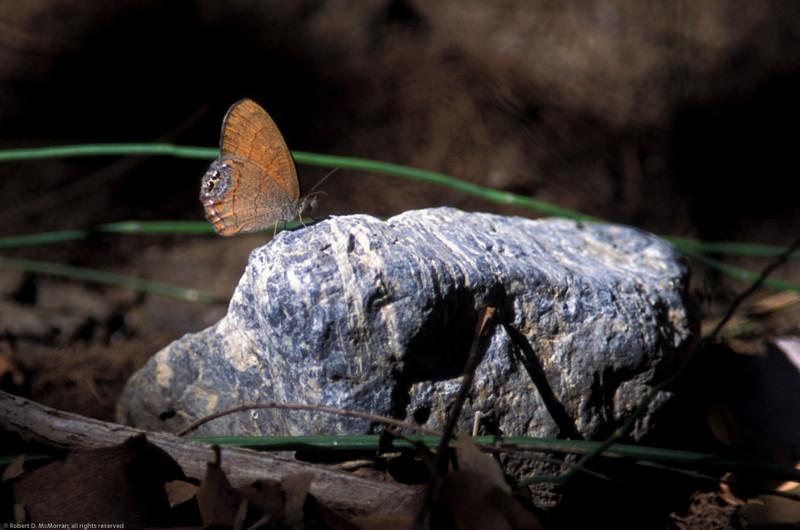 Nabokov's Satyr- Madera Canyon-AZ- 8-29-2004_2