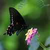 Pipevine Swallowtail_Rio Grande Valley_TX-647-2