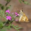 Skipper_Chiricahua Mtns_AZ-2347-1