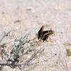 Desert Black Swallowtail_CuddebackDryLake_CA-0075
