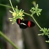 Butterfly- Puerto Morelos_MX 463