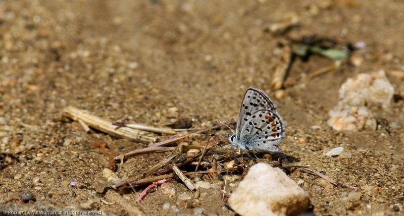 Blue_Butterbredt Spring_Kern Co_CA-156