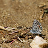 Blue_Butterbredt Spring_Kern Co_CA-156