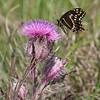 Palamedes Swallowtail- RioGV_TX- 570