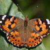 Painted Lady_Chiricahua Mtns_AZ-2434