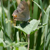 Hairstreak_Ventura_Ventura Co_CA-1240