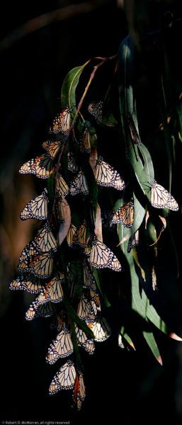 Monarch_Ventura_Ventura Co_CA-004