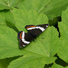 Red-spotted Admiral-white form_Beatton Provincial Park_BC_Canada-135