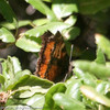 California Tortoiseshell_Wheeler Campground_Ventura_CA-1188
