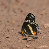 Bordered Patch_Chiricahua NM_AZ-2196