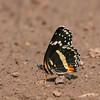 Bordered Patch_Chiricahua NM_AZ-2196