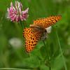 Fritilllary G_Beatton Provincial Park_BC_Canada-156