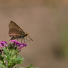 Orange-edged Roadside-skipper_Chiricahua Mtns_AZ-2331-1