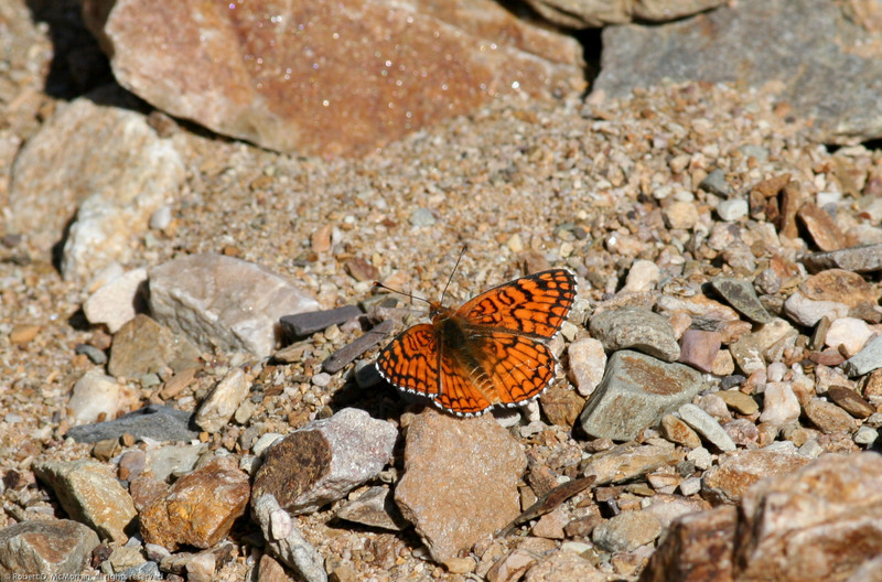 Sagebrush Checkerspot_Death Valley_CA-337