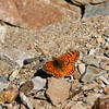 Sagebrush Checkerspot_Death Valley_CA-337