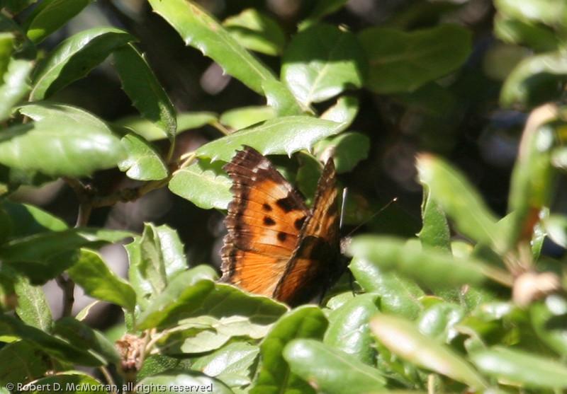 California Tortoiseshell_Wheeler Campground_Ventura_CA-1187