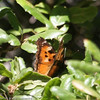 California Tortoiseshell_Wheeler Campground_Ventura_CA-1187