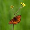 Fritillary_Beatton Provincial Park_BC_Canada-239