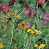 Monarch_Davenport Ranch_Atascosa Co_TX 1