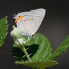 Gray Hairstreak_Ventura_Ventura Co_CA-8838