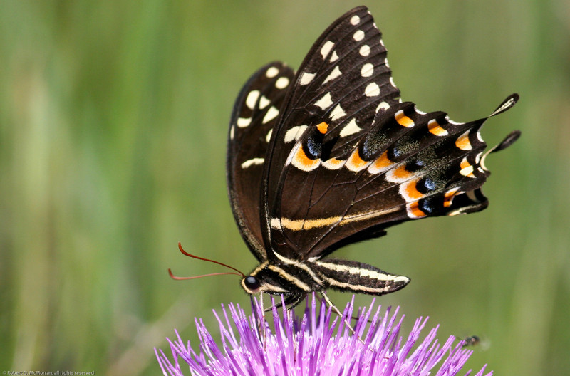 Palamedes Swallowtail- RioGV_TX- 577