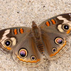Common Buckeye_Santa Clara River Estuary_Ventura Co_CA-1602