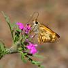 Skipper_Chiricahua Mtns_AZ-2339-1